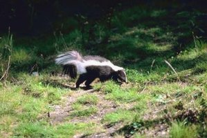 Keep skunks away from your home to keep your family and pets safe.