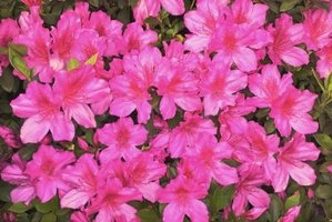 A common garden shrub, azaleas are not ideal for areas with deer problems.
