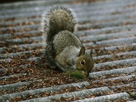 Squirrels can chew on wood and cause damage around the eaves of a home.