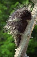 Porcupines gnaw on wood and plants.