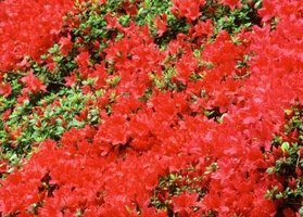 "Repeat blooming azaleas extend ""azalea season"" from spring into fall."