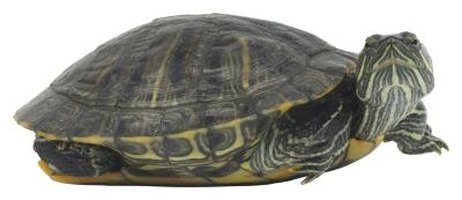 Facts on Red-Eared Sliders Living Together   eHow