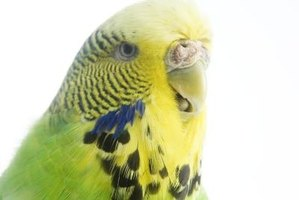 Wild budgies are usually yellow-based parakeets with green bodies and colored spots on the neck.