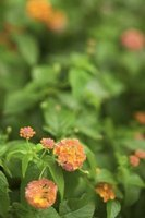 Healthy lantana leaves are bright green.