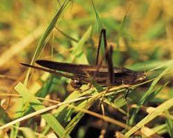 Grasshoppers are arthropods, a organism with an exoskeleton.