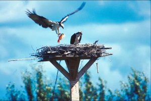 A pair of ospreys can nest on an artificial platform.