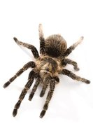 Tarantulas are the most common pet spider.