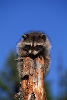 Racoons Can Transmit Diseases to People and Pets