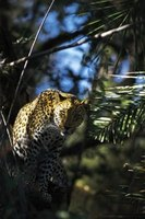 Many leopards can climb trees and jump on prey.