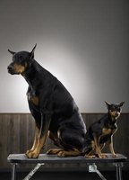 The breed standard for min pins and dobermans dictates cropped ears and docked tails.