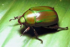 Eliminate beetles from your home with safe homemade insecticides.