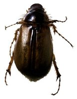 June bugs are also known as night beetles.