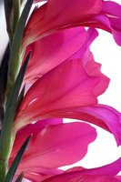 "Gladiolus comes from the Latin gladius, meaning ""sword,"" because of its leaves."