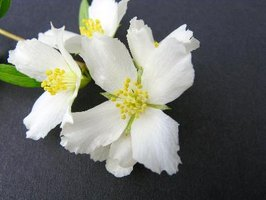 The mock orange shrub is pruned to maintain an attractive shape.