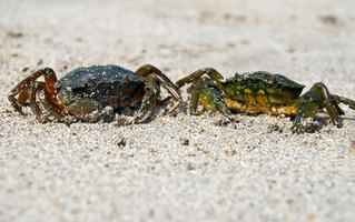 Though they might look scary, blue crabs are easy to clean.