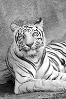 The white tiger is a majestic animal with black and white coloring.
