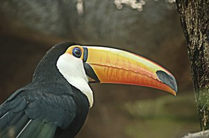 A toucan's main feature is its oversized beak.
