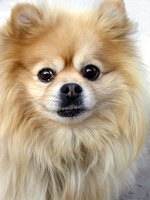 The thick coat of a Pomeranian must be regularly brushed.