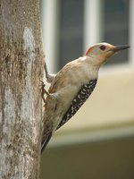 Woodpeckers are small birds that can cause a great deal of damage if they begin drumming on your home.