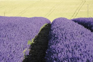 Lavender's color and natural shape makes it a good choice as a hedge.
