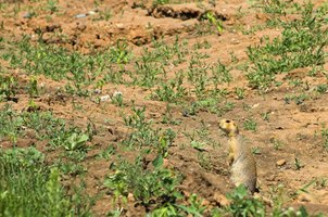 Gophers are serious landscape and garden pests.