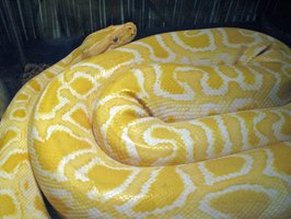 Selling snakes such as this albino Burmese python may be a rewarding business