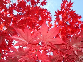 Red maple leaves are some of the most extraordinary autumn foliage.