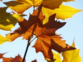 The large leaves of the sycamore turn brown in autumn.