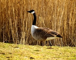 Use a Canada goose as a reference for your goose decoy.