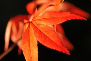 Maple leaf fall can be accompanied by dramatic color.