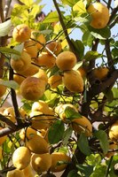 Citrus trees fruit once they reach maturity.