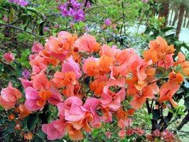 Bougainvillea is a popular vining and flowering plant.