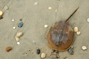 Preserving a horseshoe crab is a great way to remember that special summer vacation.