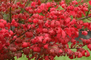 Burning bush in fall with red leaves and red fruits