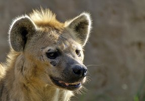 Hyenas are known for their trademark mohawk.