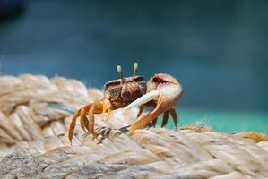 Fiddler crabs are also called mini crabs by aquarium hobbyists.