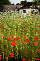 Poppies self seed easily and often spread to wider areas each year.