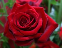 Hybrid tea roses need winter protection in USDA Zone 5.