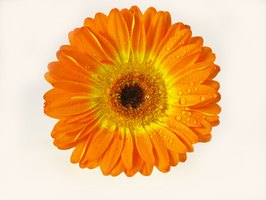 Paint a vibrant, intriguing Gerber daisy flower with basic acrylic painting supplies.