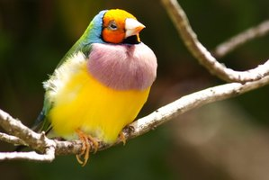 A beautifully colored gouldian finch