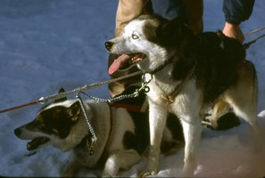 The world's most famous dog race, Alaska's Iditarod, is more than 1,150 miles.