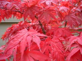 Japanese maple trees can produce bright, showy leaves in the fall.