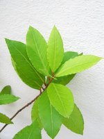 Bay leaves can add a pleasant aroma in your home.
