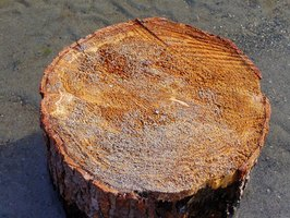 Let the stump dry in direct sunlight before using it for a woodworking project.
