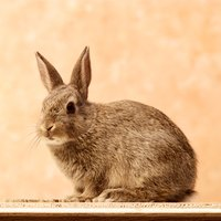 Tree bark is a major food source for rabbits in the winter.
