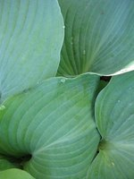 Several types of hostas are sun tolerant.