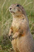 Some feel prairie dogs are invasive to the land.