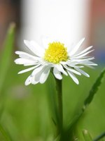 Pyrethrum daisies act as a natural pesticide.