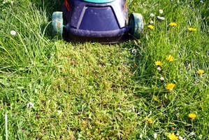 Mowing your lawn to the right height is important for establishing a healthy lawn.