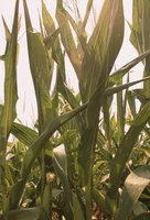 Control sweet corn pests organically.